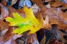 A Yellow And Green Pin Oak Leaf Rests On Top Of Brown Fallen Leaves