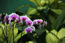 Bunch Of Orchids With Pink Shaded White Petals, Sepals And With Brown Lips