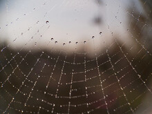 Water Drops (dew) On The Spider's Web. Beads Strung On Spider Web Threads.