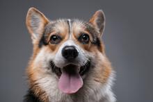 Joyful Cardigan Doggy With Opened Mouth Against Gray Background