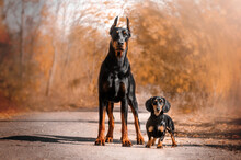 Dachshund And Doberman Funny Photo Of Different Breeds Of Dogs In The Autumn Forest