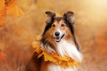 Red-haired Collie Magical Autumn Beautiful Portrait Of A Dog Walking In The Autumn Forest