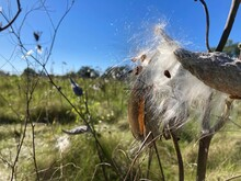 Split Milkweed Seed Pods With White Fluffy Silk