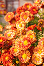 Bush Of Beautiful Autumn Flowers Of Chrysanthemums In The Garden Close-up