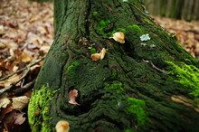 Mushrooms Growing Out Of A Tree Trunk Covered With Green Moss In Autumn Season. Mushrooms On The Tree Stub With Moss Around. European Forest Nature.