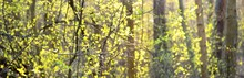 A Small Growing Shrub At Sunset, Close-up. Fresh Green Leaves Blurred In Bokeh. Sun Rays Through The Tree Trunks. Abstract Natural Pattern. Spring Forest In Germany