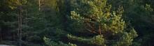 Growing Coniferous Trees In The Evergreen Forest. Golden Sunlight, Sunset. Idyllic Landscape. Latvia