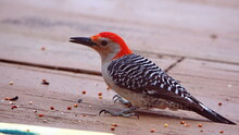Red-bellied Woodpecker (Melanerpes Carolinus) Eating Bird Seed From A Tray On A Patio In A Backyard In Panama City, Florida, USA
