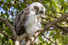 Juvenile Powerful Owl Roosting In Tree By Day
