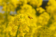 Rapeseed - Brassica Napus - Are Bloom And Honey Bee Comes At The Flower In Sunny Day, JAPAN.