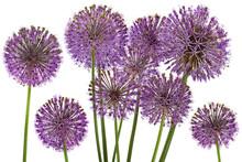 Decorative Onion Blossom Flower