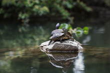 Cute Turtles In The Park In Summer. Crimea In Summer. Reptiles In The Pond.