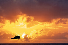 Striped Dolphin In The Sun On A Wonderful Sunset In French Polynesia Landscape