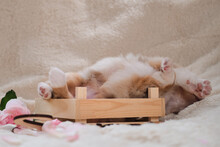 Beautiful Aussie Puppy In Cute Handmade Wooden Box On Background Of White Warm Fluffy Sheepskin Blanket. Dog Lifted Its Paws Up. Sleeping Red Merle Australian Shepherd At First Photo Shoot.
