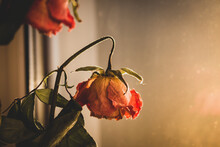 Dry Red Roses. Dead Flowers, Faded. Rose Bouquet, Close Up. Dying Love Concept. Love Memory. Sad Love. Wilted Rose Flowers. Romance Background. Valentine Day Symbol.