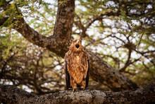 Aigle Fauve Bec Ouvert, Dans Le Parc Du Serengeti En Tanzanie, Safari, Oiseau, Prédateur,