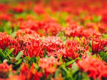 Ixora Red Flower. Love Or Valentine Background