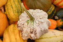 White Gourd With Warty Skin In Pile Of Colorful Pumpkins