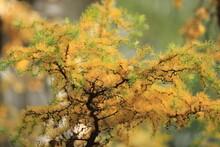 Autumn Yellow Branch Of Spruce Thuja