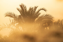 Date Palm Tree Closeup In The Foggy Morning During Sunrise