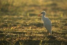 Cattle Egret On Green Grass In The Morning Hours