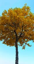 Single Tall Fall Maple Tree Color Changing Autumn Fall Leaves Season