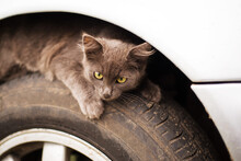 Small Gray Fluffy Homeless Kitten Hiding Or Basking Under A Wing On A Car Wheel