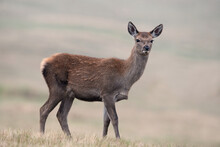 Red Deer Calf (Cervus Elaphus) In A Field At The Edge Of A Forest