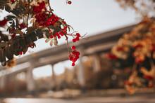 Red Rowan Berries On A Branch. Autumn Landscape