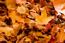 Maple Leaves Become Part Of A Larger Pile On The Ground In Mid-October Near Hartford, Wisconsin.