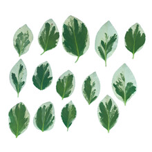 Ficus Leaves. Collection Leaves Isolated On White Background