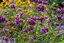 Abstract Texture Background Of Purple Vervain (verbena Bonariensis) Flower Blossoms Blooming In A European Garden
