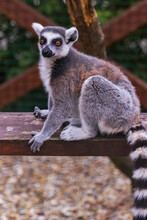 Ring Tailed Lemur In Zoo