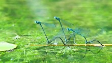 Azure Damselflies Laying Eggs (Oviposition) In A Pond With Green Algae. Closeup