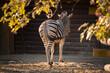 Zebra obrócona tyłem