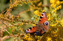 Peacock Butterfly Feeding On The Goldenrod Flowers. Aglais Io.