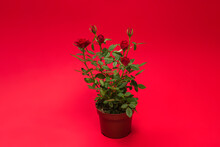 RRed Roses In A Pot On Red Background. Copy Space.