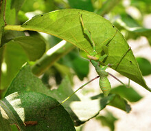 Praying Mantis Hunting For Prey