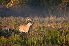 Fall Scene Of A Male 5 Point Buck White Tailed Deer Standing In Meadow At Edge Of Forest