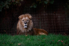Closeup Shot Of A Lion