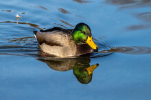 Wild Duck Or Mallard, Anas Platyrhynchos Swimming In A Lake
