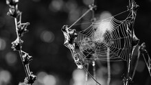 Monochrome Photo. Horror, Halloween. Cobwebs On Dry Plants, In Dew Drops In The Morning. Sunshine, Blurred Background, Dry Flowers, Web, Bokeh, Soft Focus. Abstract Nature. Autumn Background