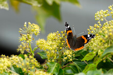 Red Admiral Butterfly (Vanessa Atalanta) With Open Wings Perched On Hedge (hedera Helix) In Zurich, Switzerland