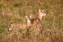 White Tailed Deer Doe And First Year Fawn Standing In Fall Meadow