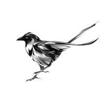 Drawn Dark Stylized Magpie Bird On White Background
