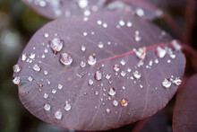 Purple Leaf Close Up With Dew Droplets