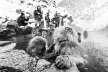 Tourists Taking Photo Of Snow Monkeys In Jigokudani Monkey Park In Japan. Japanese Macaques Sitting In A Hot Spring.