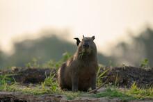 The Capybara (Hydrochoerus Hydrochaeris)