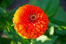 Orange Zinnia Flower Close Up. High Quality Photo