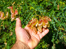 Man's Hand Holding Ripe Exotic Pods Of Bladder-senna Or Colutea, Known In Eastern Europe As The Bubble Tree